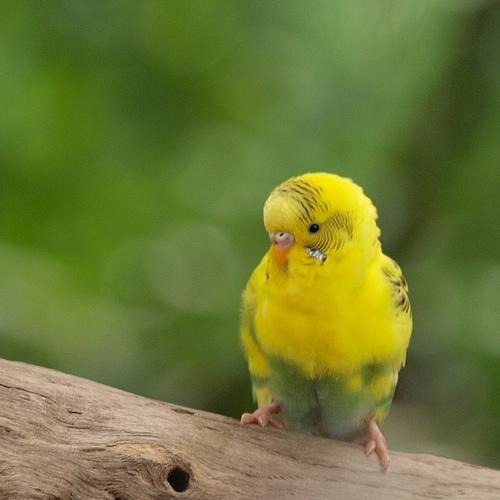 セキセイインコ・黄ハルクイン(flickrからの画像)