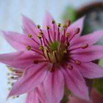 センペルビウム?のお花